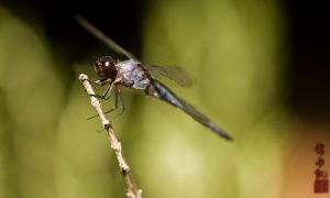 Dragon Fly 2 by juhitsome