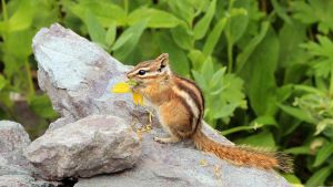 Chipmunk Colorado 2010 by artbor
