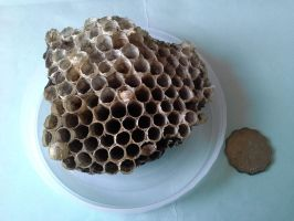 Wasp nest front by RiverKpocc