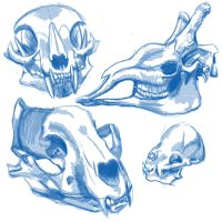 Skull study:1 by FlameFoxe