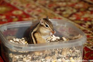 chipmunk on the carpet III by Philophobos