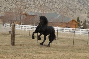Friesian 002 by Notorious-Stock