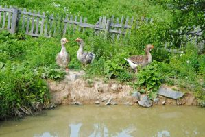 Geese in King's Landing NB by LucieG-Stock