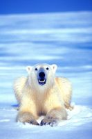 Polar Bear by catman-suha