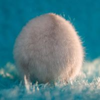Fluffball by hoschie