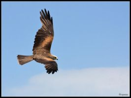 Black Kite by cycoze