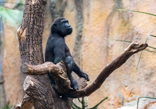 Gorilla (young) by Fotostyle-Schindler