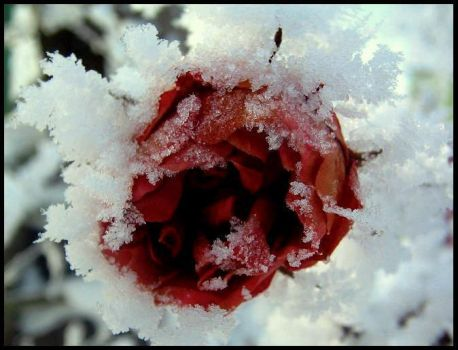 Cold Rose by dolly41