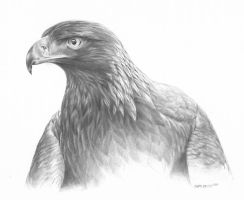 Golden Eagle by karlhcox
