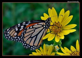 Happy Monarch by boron