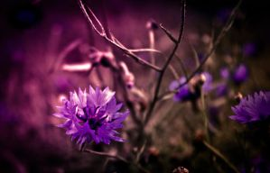 Another Cornflower by FreeForms