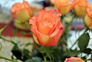 Birthday Rose by Barefootingmindfully