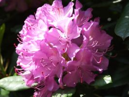 Rhododendron Flower 2 by TimeWizardStock