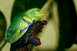 wAXY mONKEY fROG by NENE00