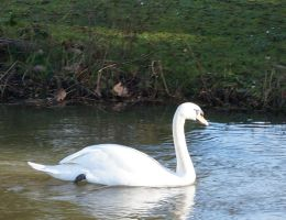 Swan and Rat by limarieinred
