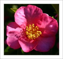 Pink Camelia by assimilated