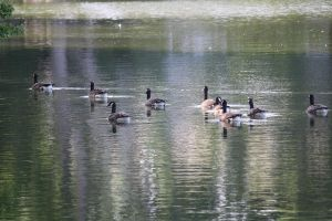 GEESE ONA POND by zraclooc