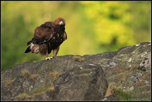 Male Golden Eagle by nitsch