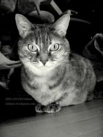 Just a cat's gaze by Cidiene