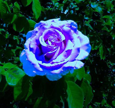 Another Blue Rose by fromanotherworld