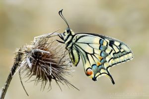 Papilio   machaon by Mantide