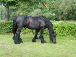 Friesian stock 4 by da-toss-stock
