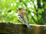 chaffinch by Paticzaki