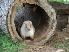 Otter in a Hollow Log by FantasyStock