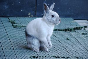 Ancord the rabbit 10 by Panopticon-Stock