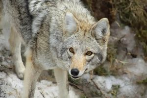 The Coyote by Sagittor