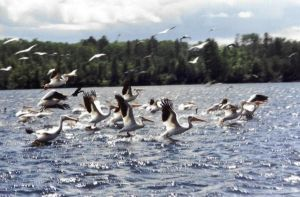Flight of the Pelicans by Naerko