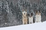 Snow dogs. by Majchy