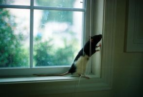 ratticai in the window by itslikeametaphor