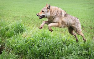 Wolfdogs Can Fly XIV. by Czertice