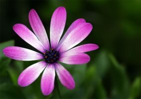 Not a Dahlia by andras120
