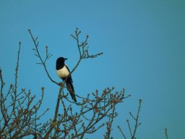 tree magpie by harrietbaxter