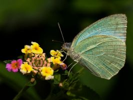 Common Butterfly by InayatShah