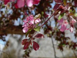 Crab Apple Blossom by Elle-Arden