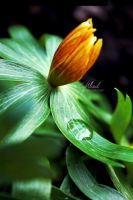 the flower and the raindrop by CaryM