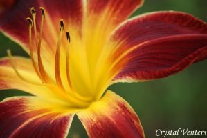 Red n Yellow Lily by poetcrystaldawn