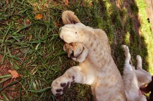 Lion cub - not interested by NagWolf