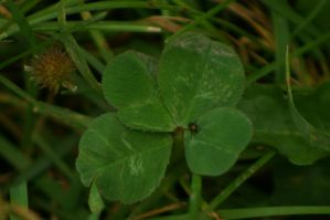 4 Leafed Clover Stock by Astralsteed