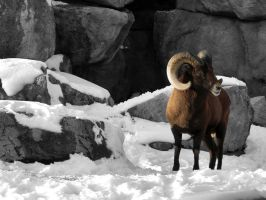 Rocky Mountain Bighorn by catiebop