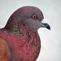Red Pigeon. by pasofino6