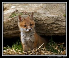 Fox Cub II by andy-j-s