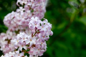 French Lilacs by dragonariaes