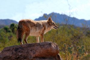 Coyote 1459 by mammothhunter