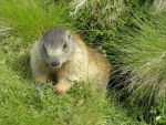 Baby marmot with genzians by edelweiss26