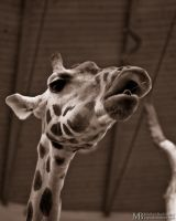 Eating Rothschild giraffe by Yupa