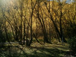 Golden Leaved Trees by Beautelle-stock